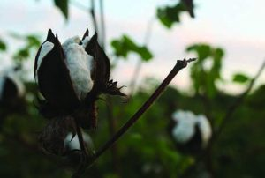 Growing Organic Cotton: Respecting Our Health and the Environment